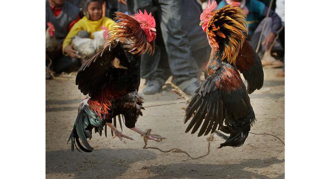 Sabung Ayam Online Tepercaya